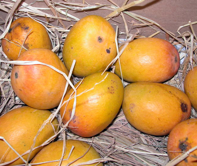 Mango varieties available in Gujarat - inGujarat in
