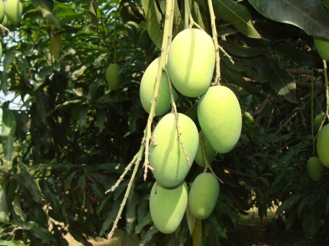 Mango varieties available in Gujarat - inGujarat in